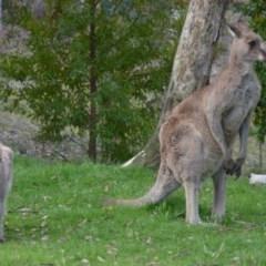 Macropus giganteus (Eastern Grey Kangaroo) at Wamboin, NSW - 5 Nov 2016 by natureguy