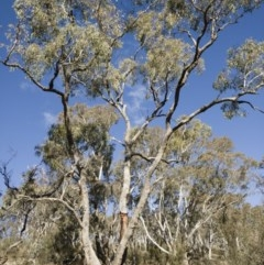 Eucalyptus bridgesiana (Apple Box) at Illilanga & Baroona - 12 Aug 2018 by Illilanga