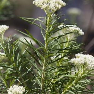Cassinia longifolia at Illilanga & Baroona - 24 Nov 2017