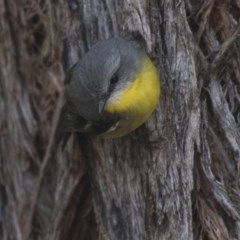 Eopsaltria australis (Eastern Yellow Robin) at ANBG - 14 Aug 2018 by Alison Milton