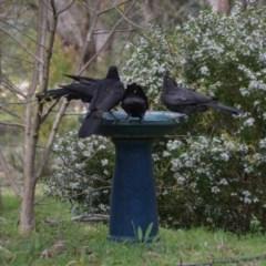Corcorax melanorhamphos (White-winged Chough) at Wamboin, NSW - 7 Nov 2016 by natureguy