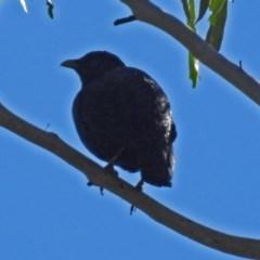 Ptilonorhynchus violaceus (Satin Bowerbird) at Tidbinbilla Nature Reserve - 14 Aug 2018 by RodDeb