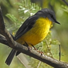 Eopsaltria australis (Eastern Yellow Robin) at Paddys River, ACT - 14 Aug 2018 by RodDeb