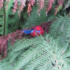 Platycercus elegans (Crimson Rosella) at ANBG - 19 Apr 2015 by natureguy