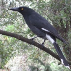 Strepera graculina (Pied Currawong) at ANBG - 19 Apr 2015 by natureguy