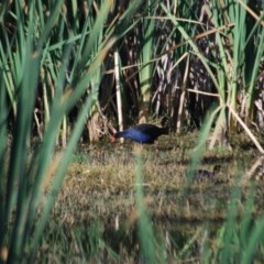 Porphyrio melanotus (Australasian Swamphen) at Jerrabomberra Wetlands - 28 Jan 2012 by natureguy