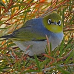 Zosterops lateralis (Silvereye) at Jerrabomberra Wetlands - 17 Aug 2018 by RodDeb