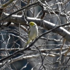 Ptilotula penicillatus (White-plumed Honeyeater) at Jerrabomberra Wetlands - 17 Aug 2018 by RodDeb