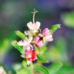 Dodonaea camfieldii at Jerrawangala National Park - 14 May 2017 by NicholasdeJong