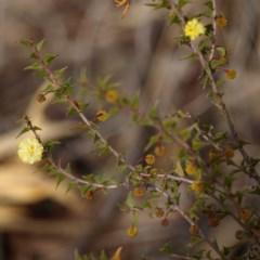 Acacia gunnii (Ploughshare Wattle) at Aranda Bushland - 17 Aug 2018 by MatthewFrawley