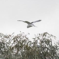 Elanus axillaris (Black-shouldered Kite) at Yerrabi Pond - 17 Aug 2018 by Alison Milton