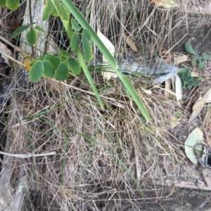 Tiliqua scincoides at Red Head Villages Bushcare - 19 Aug 2018