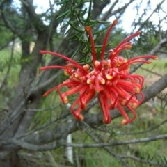 Grevillea juniperina (Grevillea) at Isaacs Ridge and Nearby - 19 Oct 2010 by Mike