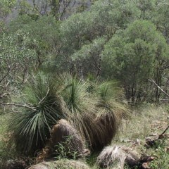 Xanthorrhoea glauca subsp. angustifolia (Grey Grass-tree) at Bungonia National Park - 21 Dec 2004 by JackieMiles