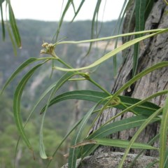 Parsonsia eucalyptophylla (Gargaloo) at Bungonia National Park - 31 Oct 2007 by JackieMiles
