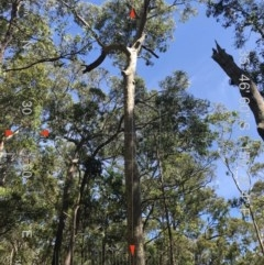 Tree hollows at Mogo State Forest - 20 Aug 2018 by nickhopkins