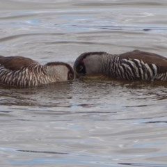Malacorhynchus membranaceus (Pink-eared Duck) at Jerrabomberra Wetlands - 17 Aug 2018 by Christine