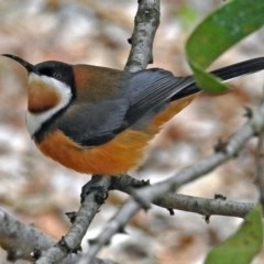 Acanthorhynchus tenuirostris (Eastern Spinebill) at ANBG - 21 Aug 2018 by RodDeb