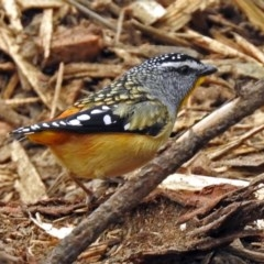 Pardalotus punctatus (Spotted Pardalote) at ANBG - 21 Aug 2018 by RodDeb