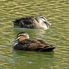Anas superciliosa (Pacific Black Duck) at Lake Burley Griffin West - 21 Aug 2018 by RodDeb