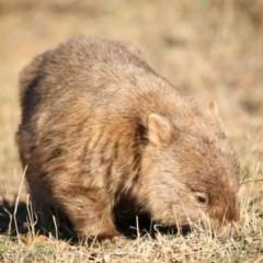 Vombatus ursinus (Wombat) at Booth, ACT - 16 Aug 2018 by Jek
