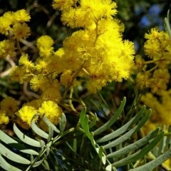 Acacia blayana (Blays Wattle) at Brogo, NSW - 21 Aug 2018 by MaxCampbell