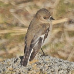 Petroica phoenicea (Flame Robin) at Tennent, ACT - 21 Aug 2018 by JohnBundock