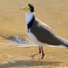 Vanellus miles (Masked Lapwing) at Undefined - 15 Aug 2018 by CharlesDove