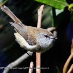 Gerygone mouki (Brown Gerygone) at Undefined - 17 Aug 2018 by Charles Dove