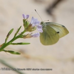 Pieris rapae (Cabbage White) at Lake Tabourie Bushcare - 19 Aug 2018 by Charles Dove