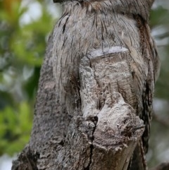 Podargus strigoides (Tawny Frogmouth) at Coomee Nulunga Cultural Walking Track - 18 Aug 2018 by Charles Dove