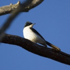 Myiagra inquieta (Restless Flycatcher) at Illilanga & Baroona - 24 Jun 2012 by Illilanga