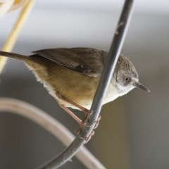 Sericornis frontalis (White-browed Scrubwren) at Illilanga & Baroona - 7 Oct 2012 by Illilanga