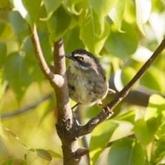 Sericornis frontalis (White-browed Scrubwren) at Illilanga & Baroona - 6 Jan 2013 by Illilanga