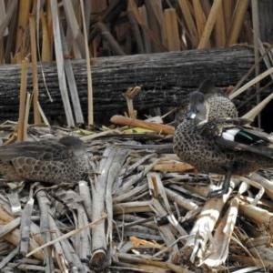 Anas gracilis at Jerrabomberra Wetlands - 22 Aug 2018