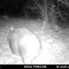 Vombatus ursinus (Wombat) at Illilanga & Baroona - 18 Aug 2018 by Illilanga