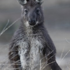 Macropus robustus (Wallaroo) at Illilanga & Baroona - 22 Aug 2018 by Illilanga