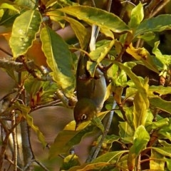 Zosterops lateralis (Silvereye) at Brogo, NSW - 23 Aug 2018 by MaxCampbell
