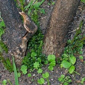 Bursaria spinosa subsp. lasiophylla at Brogo, NSW - 20 Nov 2006