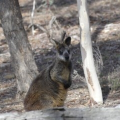 Wallabia bicolor (Swamp Wallaby) at Mount Ainslie - 24 Aug 2018 by WalterEgo