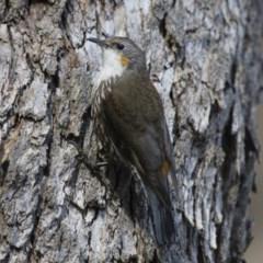 Cormobates leucophaea (White-throated Treecreeper) at Illilanga & Baroona - 2 Feb 2015 by Illilanga