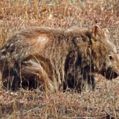 Vombatus ursinus (Wombat) at Tennent, ACT - 23 Aug 2018 by RodDeb