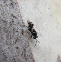 Chalcididae sp. (family) (Unidentified chalcid wasp) at Aranda Bushland - 25 Aug 2018 by CathB