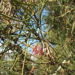 Amyema cambagei (Needle-leaf Mistletoe) at Moruya, NSW - 23 Aug 2018 by JackieMiles