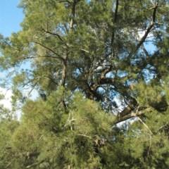 Casuarina cunninghamiana subsp. cunninghamiana (River Oak) at Moruya, NSW - 23 Aug 2018 by JackieMiles
