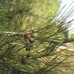 Casuarina glauca (Swamp She-oak) at Moruya, NSW - 23 Aug 2018 by JackieMiles