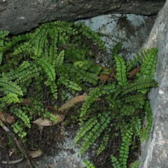 Asplenium trichomanes (Common spleenwort) at Bungonia National Park - 2 Nov 2007 by JackieMiles