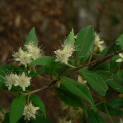 Backhousia myrtifolia (Grey Myrtle) at Bungonia National Park - 22 Dec 2004 by JackieMiles