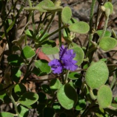 Dampiera purpurea (Purple Dampiera) at Bungonia State Conservation Area - 21 Dec 2004 by JackieMiles