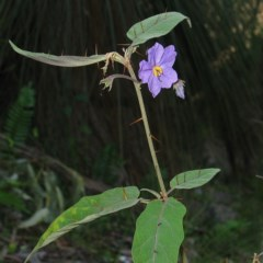 Solanum celatum at Bungonia National Park - 16 Oct 2007 by JackieMiles
